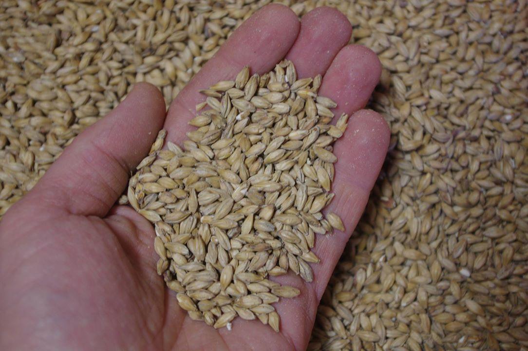Słód – surowiec podstawowy - piwowarstwo domowe